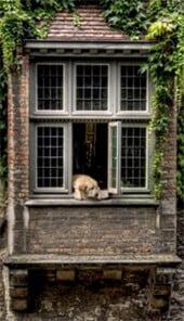 La Labrador Giulietta al Balcone di Bruges