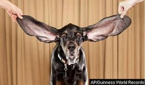 Il cane con le orecchie da record